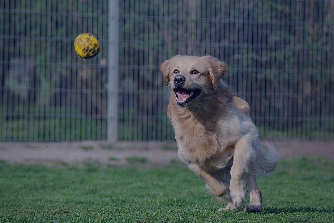 Retriever running to fetch ball